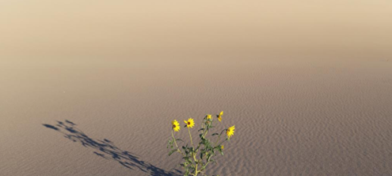 photo of sunflowers growing in desert sand, with sky, day