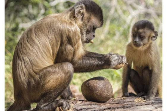 capuchin monkeys with tools