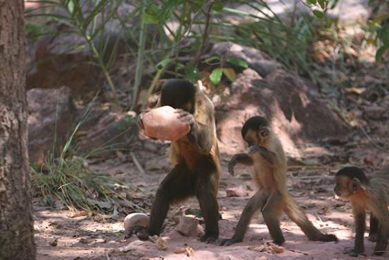capuchin monkey is striking a nut with a stone hammer.